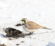 Horned lark & poop Royalty Free Stock Images