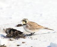 Horned lark & poop Royalty Free Stock Images