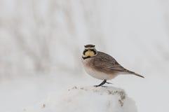 Horned Lark. On roadside in winter Stock Photography