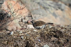 Horned Lark (or shore lark) foraging for food. In the arctic Royalty Free Stock Photo