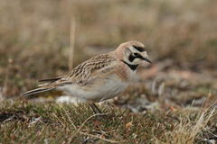 Horned Lark (or shore lark) foraging for food on the arctic tundra. Among grass Stock Images
