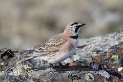 Horned Lark (or shore lark) standing on a rock. And being watchful Royalty Free Stock Image