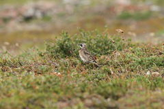 Horned Lark (or shore lark) among willow. And rocks watching Stock Photography
