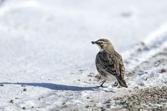 Horned lark with food in its mouth royalty free stock photography