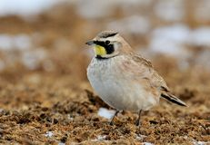 Horned Lark Stock Photo
