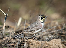 Horned Lark. A horned lark is standing in a corn field in the fall with his horns clearly visible in this nice fall picture of a bird in Illinois Royalty Free Stock Image