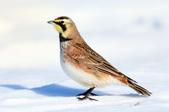 Horned Lark. A Horned Lark standing in a snow covered field with a white background Stock Photography