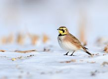 Horned Lark. A Horned Lark standing on the snow in a cut corn field with a white background Stock Photos