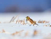 Horned Lark. A Horned Lark standing on the snow in a cut corn field with a white and blue background Royalty Free Stock Image