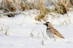 Horned lark standing in snowy field. One Horned lark standing in snowy field Stock Images