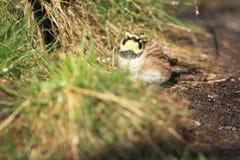 Horned lark. The horned lark standing on the soil Royalty Free Stock Images