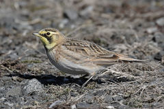 Horned Lark In Winter Stock Photo