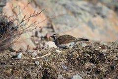Horned Lark (or shore lark) foraging for food Royalty Free Stock Photo
