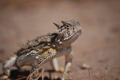 Horned lizard Stock Images