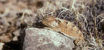Horned Lizard. A Texas Horny Toad rests sleepy-eyed on a rock Stock Photos