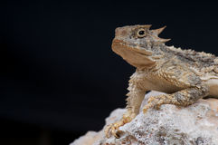 Horned lizard. The horned lizard,Phrynosoma goodei, is an inhabitant of the dry Arizona desert. These diurnal lizards are active ant-eaters Stock Image