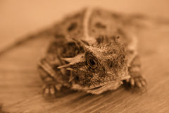 Horned Lizard. Closeup of a horned lizard, also known as a horned toad royalty free stock image