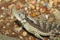 Horned Lizard Royalty Free Stock Images