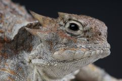 Horned Lizard Stock Images