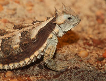 Horned Lizard. Great Horned Lizard Posing In Desert Royalty Free Stock Image