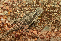 Horned Lizard Stock Image