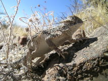 Horned Lizard Royalty Free Stock Image