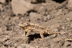 Horned Lizard in Desert Stock Photo