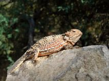 """Horned Lizard basking in the sun on a rock. Wild Horned Lizard also known as """"horned toad"""" or """"horny toad,"""" is basking in the sun on a large royalty free stock images"""