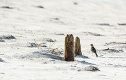 Horned lärka på stranden Arkivfoto
