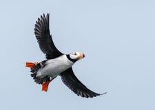Horned lunnefågel i flykten Royaltyfria Bilder