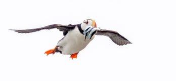 Horned lunnefågel som går tillbaka med fisken Arkivfoton