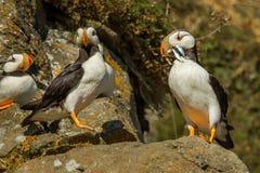 Horned lunnefåglar arkivfoto