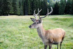 Horned male deer  in mountain landscape Royalty Free Stock Image