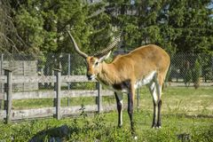 Horned male kobus leche. And wooden fense royalty free stock images