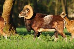 Horned mouflon male Stock Photography
