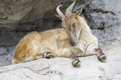 A horned mountain goat Stock Photo