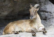 A horned mountain goat Stock Photos