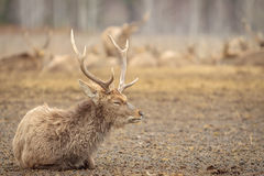 Horned noble deer rests. Early spring. Horned noble deer rests Stock Photography