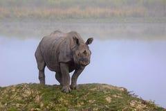 Horned noshörning för indier en, noshörningunicornis arkivfoton