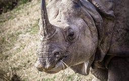 Horned noshörning för indier en på kungliga Chitwan Arkivbilder