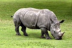 Horned noshörning två arkivbild