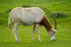 horned oryxantilopscimitar royaltyfria bilder