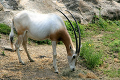 horned oryxantilopscimitar Royaltyfri Bild