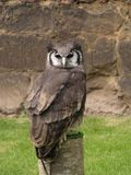 Horned Owl. Perched on a log - front view Royalty Free Stock Photos