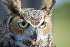 Horned Owl. Close up of a Horned Owl or Eagle Owl Royalty Free Stock Photos