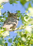 Horned Owl Royalty Free Stock Photography