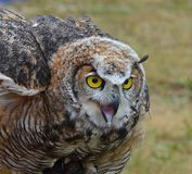 Horned owl Stock Image
