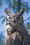 Horned Owl. A Portrait of a horned owl sitting in a tree Stock Photo