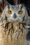Horned Owl Stock Photo
