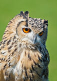 Horned Owl Stock Photography